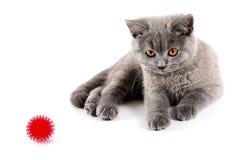 Gattino britannico Immagine Stock