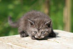 Gattino britannico Fotografie Stock
