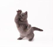 Gattino britannico Fotografie Stock Libere da Diritti