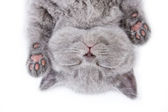Gattino britannico Fotografia Stock