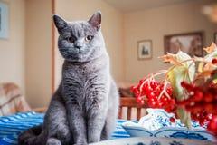 Gattino britannico che si siede sulla tavola Immagini Stock