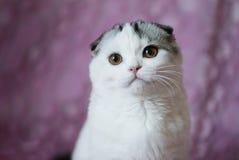 Gattino britannico con gli occhi gialli Fotografia Stock