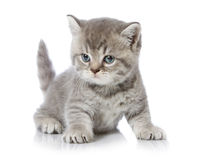 Gattino britannico dei capelli di scarsità immagini stock