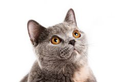 Gattino britannico del gatto Immagini Stock Libere da Diritti