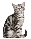 Gattino britannico di Shorthair, 4 mesi, sedentesi Immagine Stock Libera da Diritti