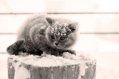 Gattino britannico di Shorthair Fotografie Stock Libere da Diritti