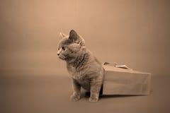 Gattino britannico di Shorthair Immagine Stock Libera da Diritti