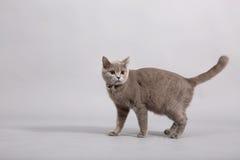Gattino britannico di Shorthair Fotografie Stock