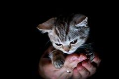 Gattino britannico a disposizione Fotografia Stock