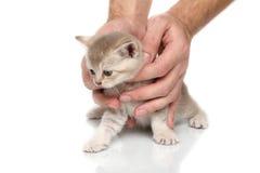 Gattino britannico in mani Immagini Stock Libere da Diritti