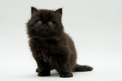 Gattino britannico nero sveglio piacevole Immagini Stock Libere da Diritti