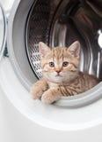 Gattino britannico a strisce all'interno della rondella della lavanderia Immagine Stock
