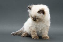 Gattino britannico sveglio Fotografie Stock Libere da Diritti