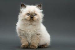 Gattino britannico sveglio Fotografia Stock