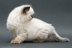 Gattino britannico sveglio Fotografia Stock Libera da Diritti