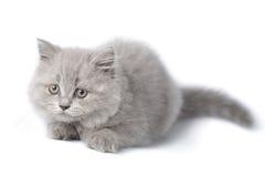 Gattino britannico sveglio isolato Fotografie Stock Libere da Diritti