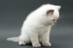 Gattino britannico sveglio piacevole Fotografie Stock Libere da Diritti
