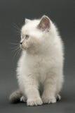 Gattino britannico sveglio piacevole Immagine Stock Libera da Diritti