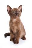 Gattino Burmese fotografie stock libere da diritti