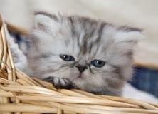 Gattino in cestino Fotografie Stock