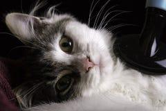 Gattino che è spazzolato Fotografie Stock Libere da Diritti
