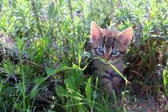 Gattino che fissa ad una goccia di rugiada su una lama di erba Fotografie Stock Libere da Diritti