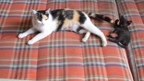 Gattino che gioca con la madre sul materasso archivi video
