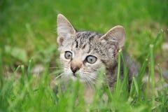 Gattino che guarda nell'erba Fotografia Stock