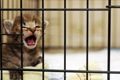 Gattino che Meowing Immagine Stock Libera da Diritti