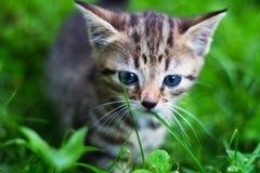 Gattino che osserva giù davanti all'erba Fotografie Stock Libere da Diritti