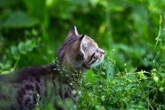 Gattino che osserva in su dietro l'erba Fotografia Stock Libera da Diritti
