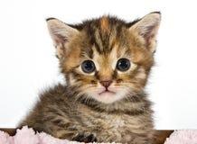 Gattino che sembra adorabile e sveglio Immagini Stock Libere da Diritti