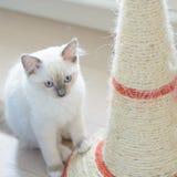 Gattino che si siede sul pavimento Fotografie Stock Libere da Diritti