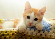 Gattino che si trova su un plaid di tricottare Immagine Stock
