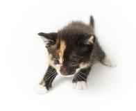 Gattino chiazzato in modo divertente allegro Fotografia Stock Libera da Diritti