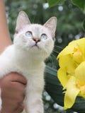 Gattino con gli occhi azzurri immagini stock