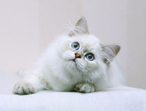 Gattino con gli occhi azzurri. Fotografie Stock Libere da Diritti