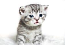 Gattino con gli occhi azzurri Fotografia Stock