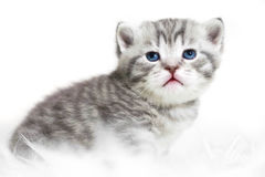 Gattino con gli occhi azzurri Immagini Stock Libere da Diritti