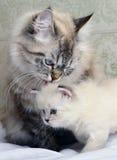 Gattino con la mummia. Fotografie Stock