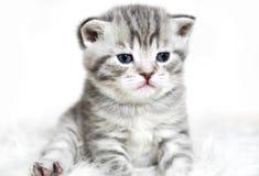 Gattino con la seduta degli occhi azzurri Fotografia Stock