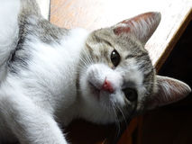 Gattino curioso Immagine Stock