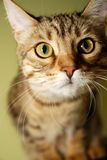 Gattino curioso del bengalese Fotografie Stock Libere da Diritti