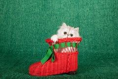 Gattino d'argento del cincillà che si siede dentro la scarpa rossa dello stivale di Santa Christmas sul fondo verde Fotografia Stock