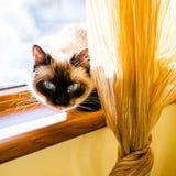 Gattino degli occhi azzurri Fotografie Stock