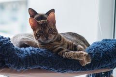 Gattino del Bengala Fotografie Stock Libere da Diritti