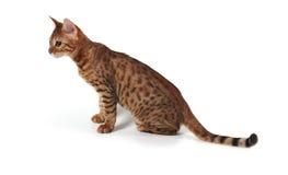 Gattino del Bengala Fotografia Stock