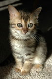 Gattino del Bengala Immagine Stock