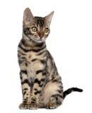 Gattino del Bengala, 4 mesi, sedentesi Fotografia Stock