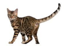Gattino del Bengala, 5 mesi Fotografie Stock Libere da Diritti